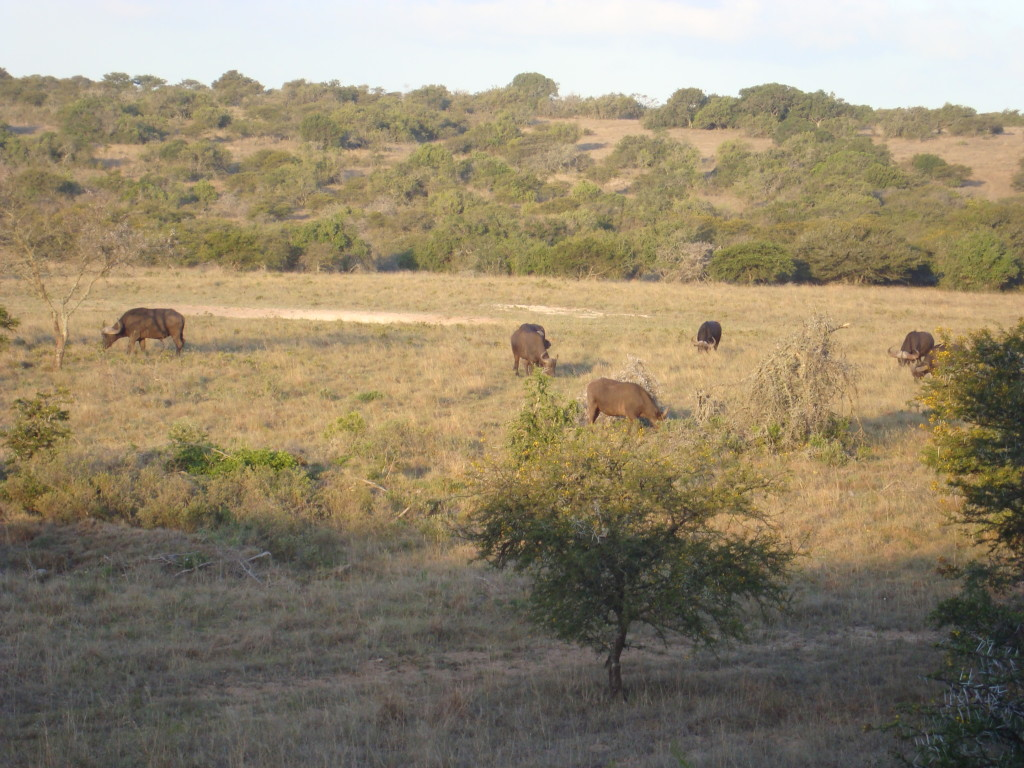 Buffalo at the water hole - view from the deck at Bush Lodge